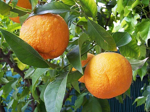 appelsin frukt