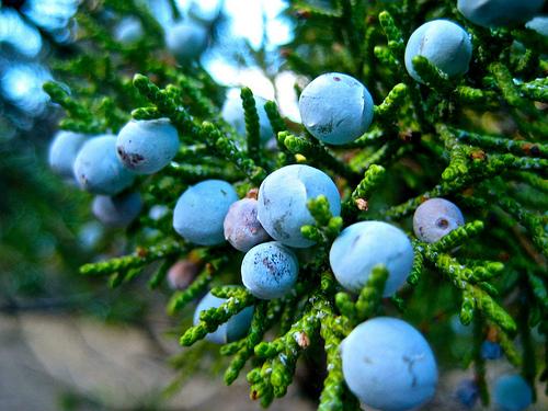 einerbær busk