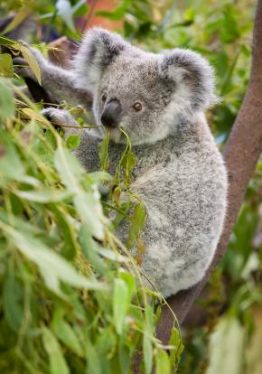 panda som spiser eukalyptus blader