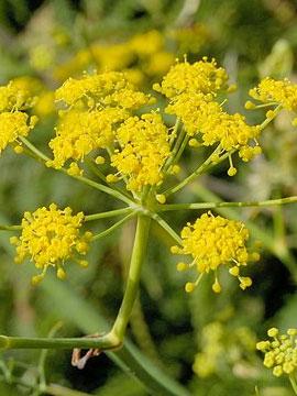 fenikkel blomst