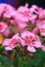 geranium blomster