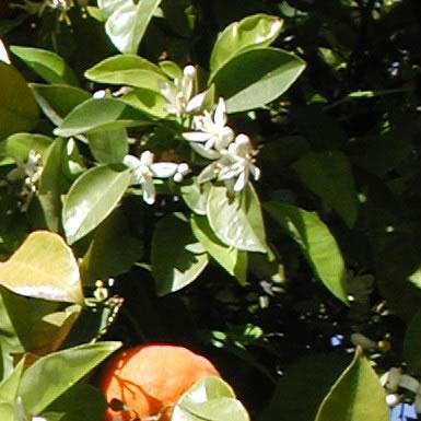 neroli blomster