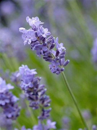 Lavendel eterisk olje