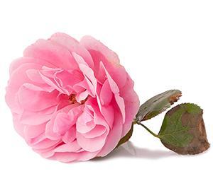 Roseblomst
