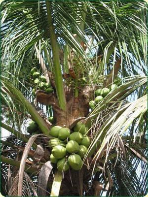 Kokosnøtt olje MCT